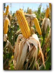 A common GM Food is maize in the USA